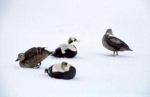 Eiderenten in der Arktis